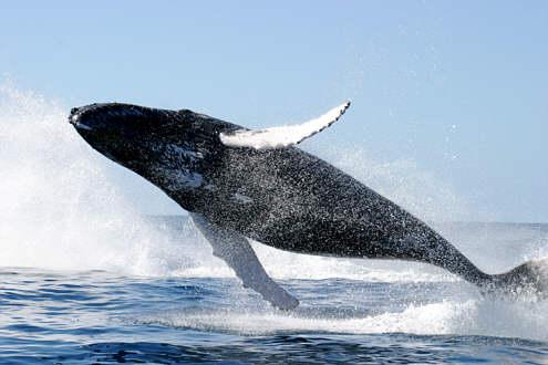 Photo impréssionnante des cétacés^^... Humpback_whale_jumpingPDusagovWikimediaSm